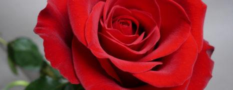 Eu não estou tão prosa por ser uma rosa